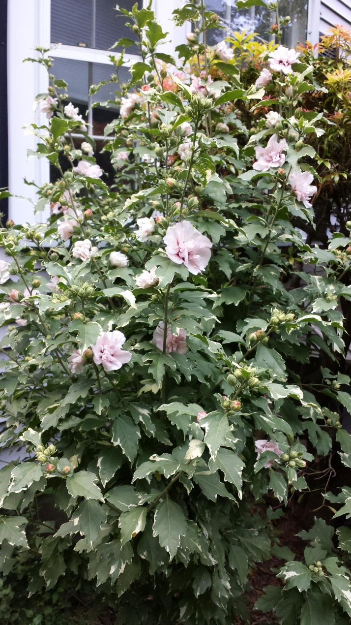 Larger view of variegated double rose of sharon
