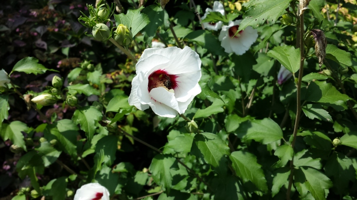 Rose of Sharon flower with bee