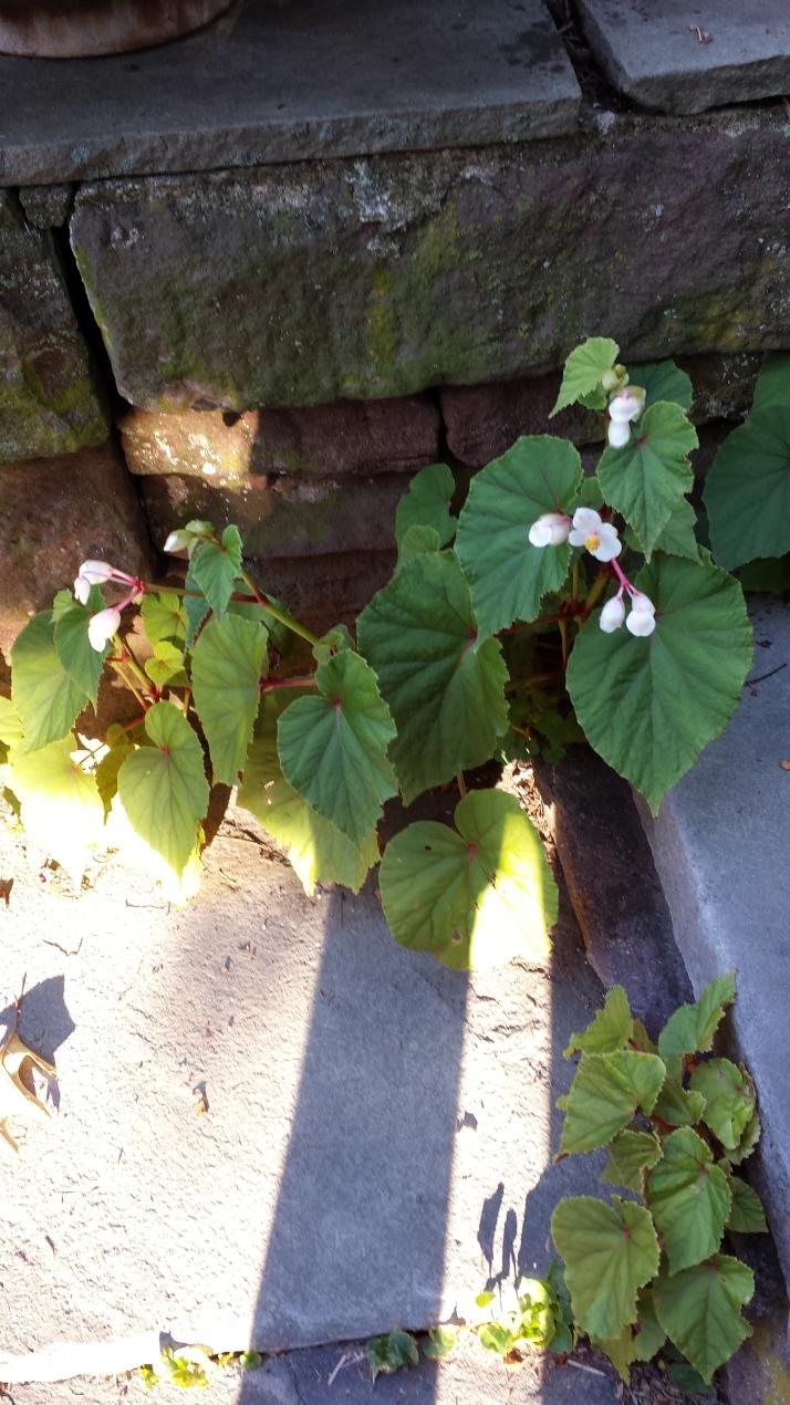 perennial begonia grandis alba