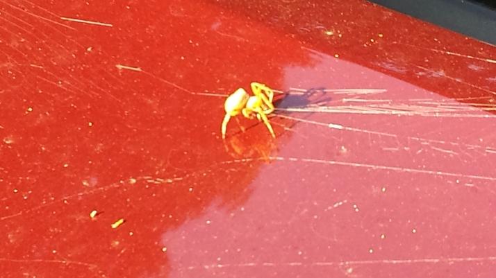 hitch hiking spider