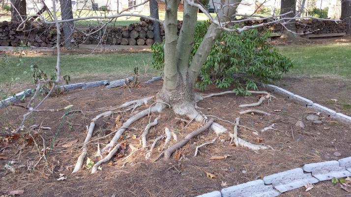 Magnolia roots