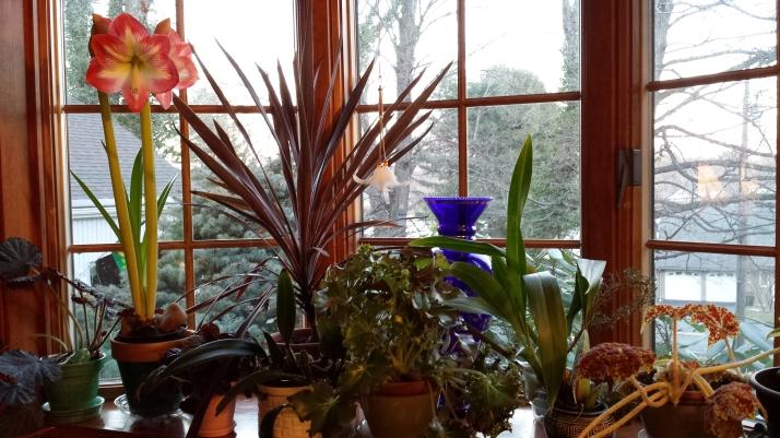 Windowsill with amaryllis