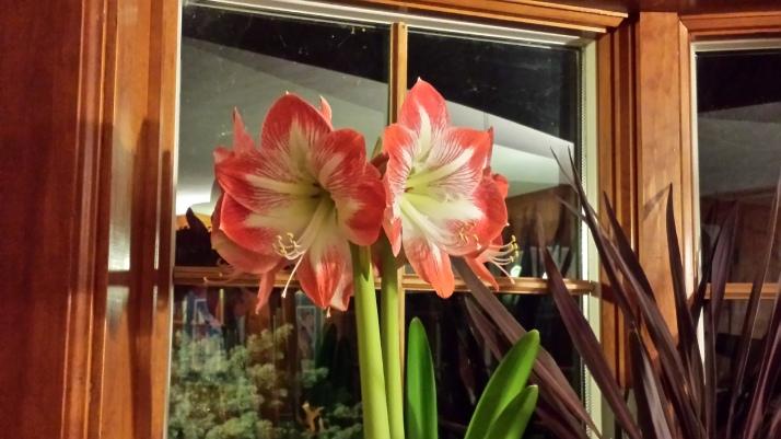 Amaryllis flowers 'Minerva'