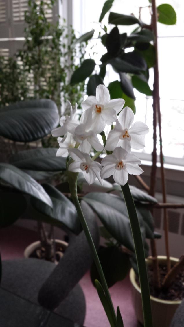Paperwhite flower