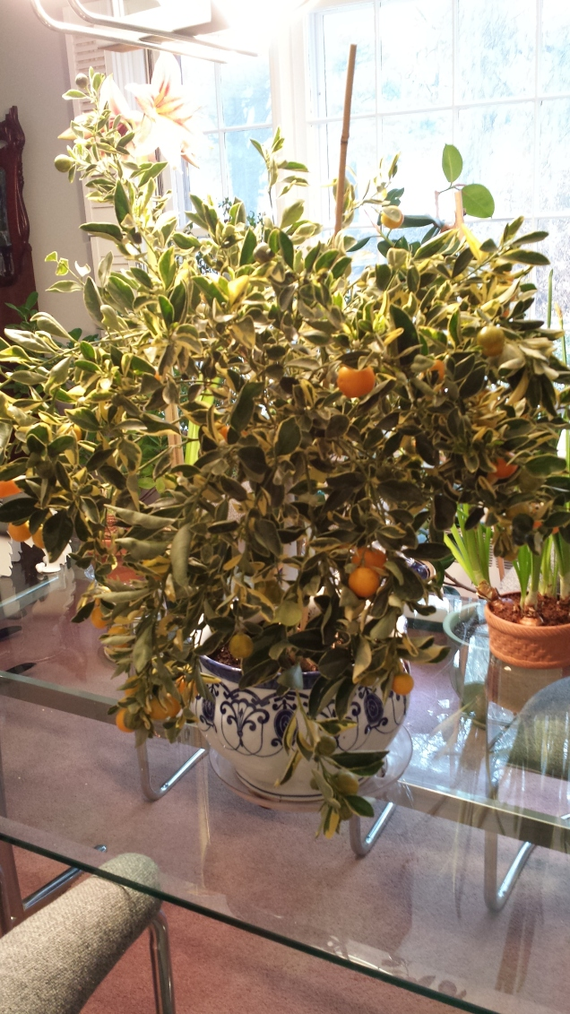 Variegated calamondin orange