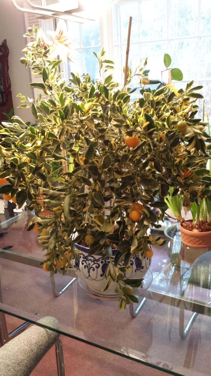 Variegated calamondin orange