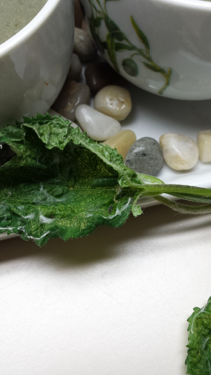 hydrangea leaftier worm