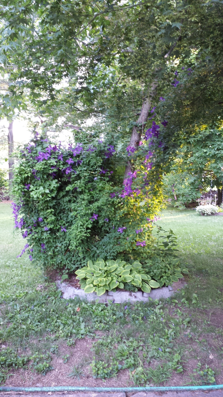 Clematis on tree