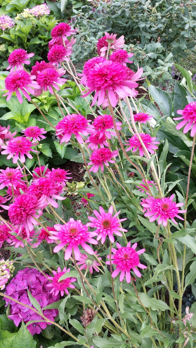 double cone flowers