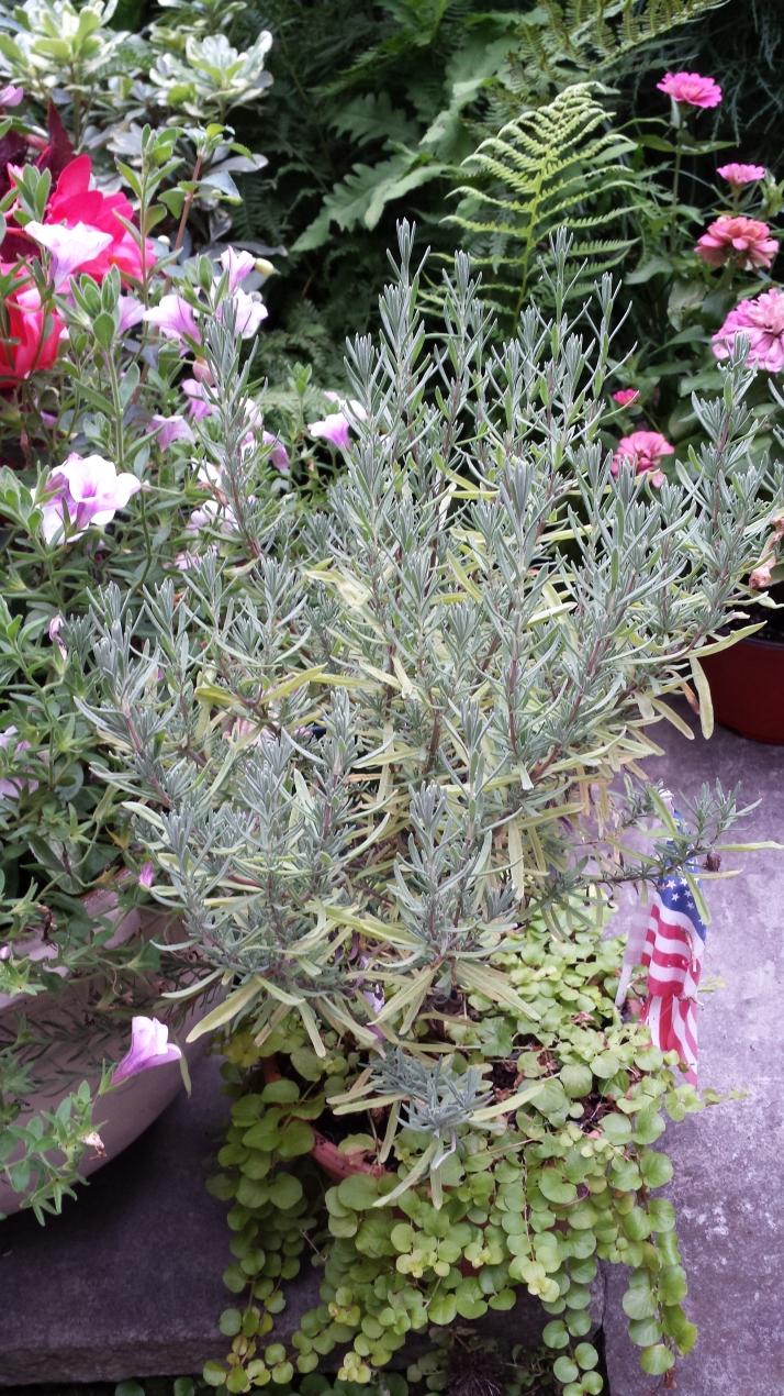 Spanish lavendar