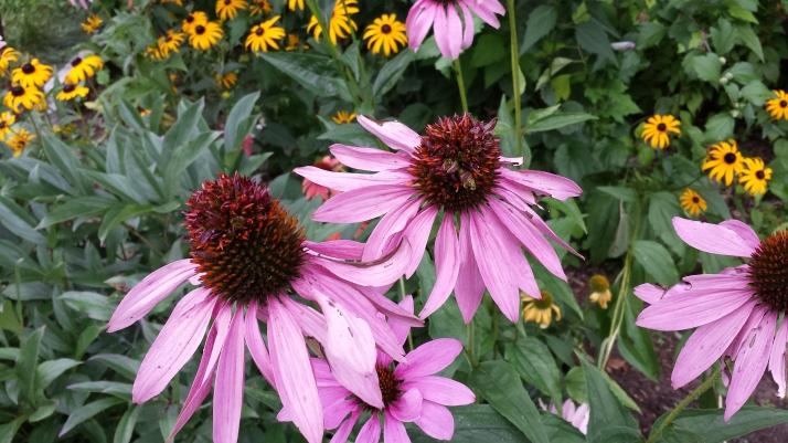 Cone Flower heads