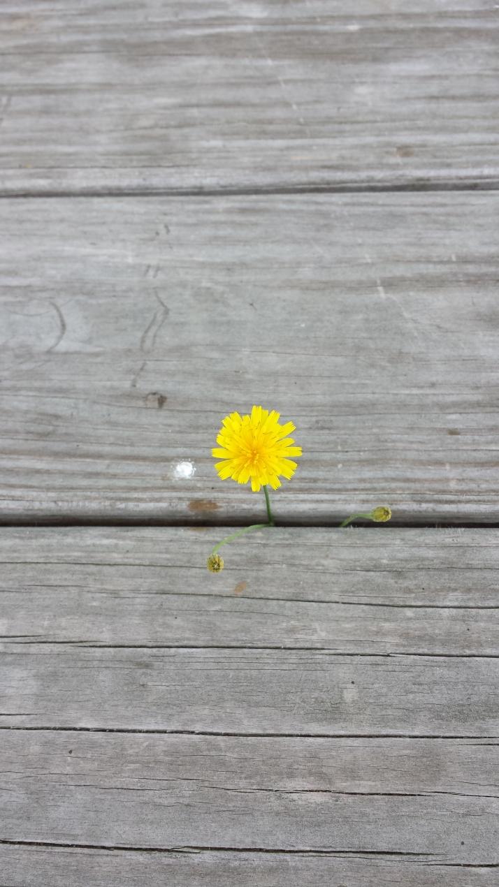 hawkweed flower