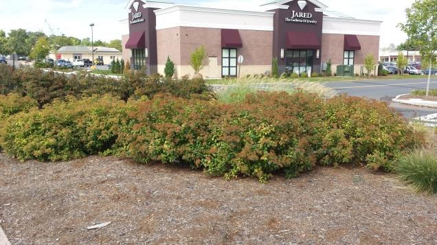 Strip mall shrubs