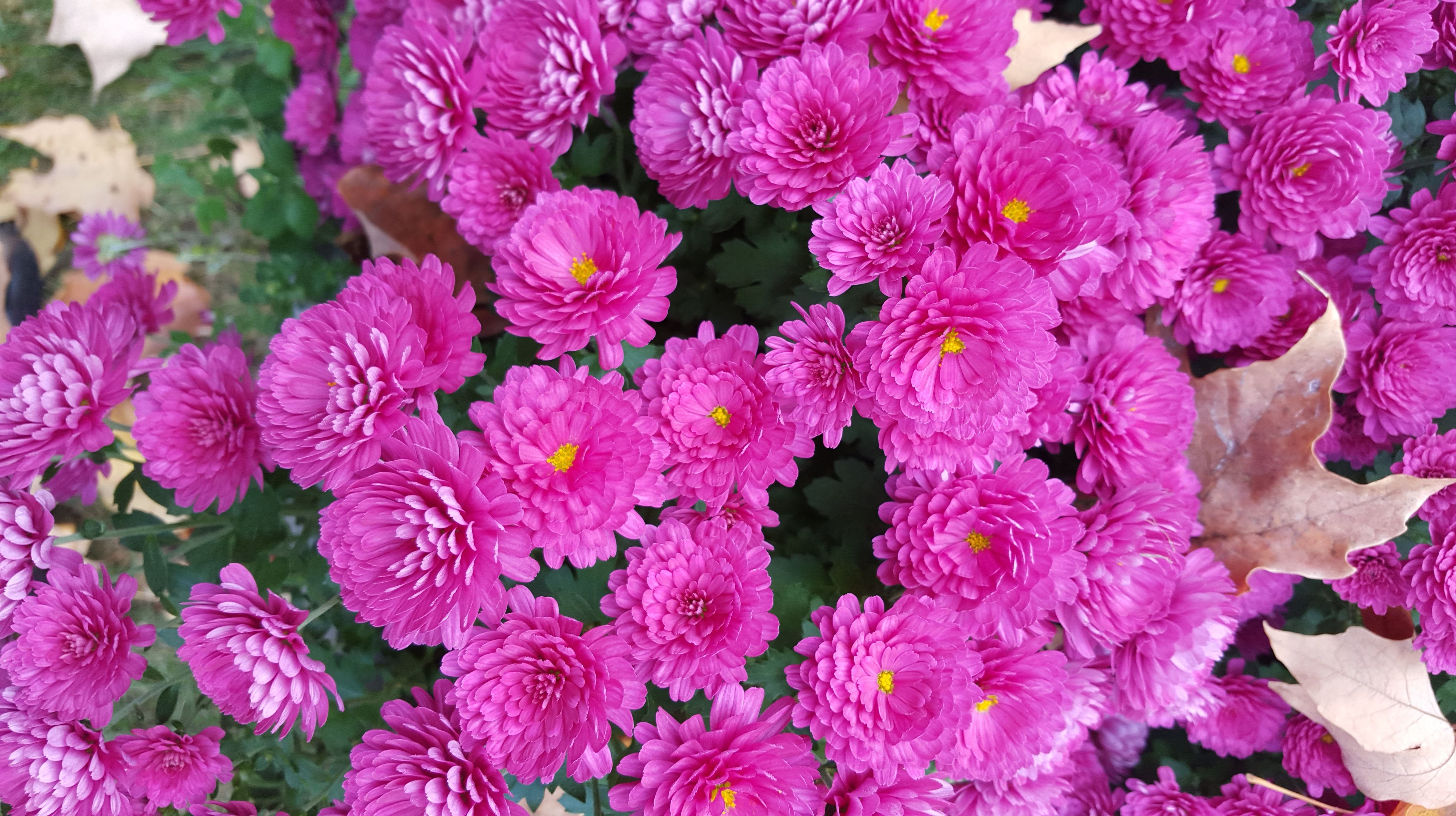 My lovehate affair with mums gardendaze if youre paying attention youll see that ive tagged this post both annual and perennial thats because most of the mums mightylinksfo