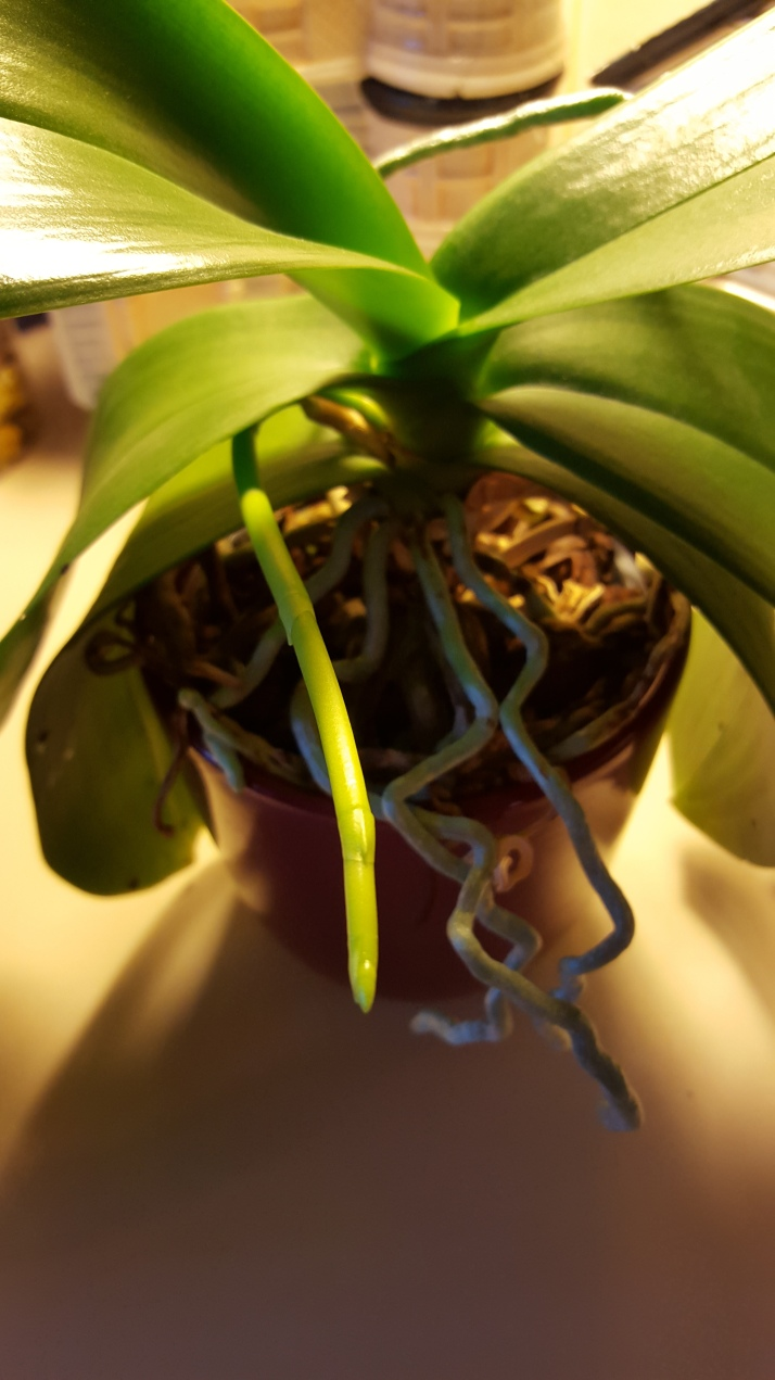 orchid spike