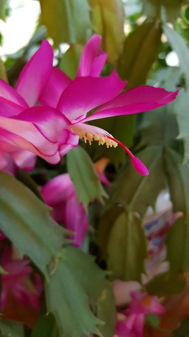 House plants page 7 gardendaze its wednesday so heres another amazing zygocacti flower this is one from my oldest plant i have no idea how old the plant is its actually 2 small 4 mightylinksfo